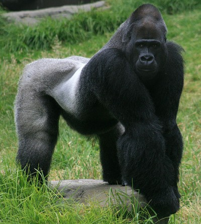 537px Male gorilla in SF zoo 400x446 Does cooking make us human?