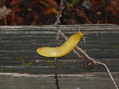 04 banana slug1 Monterey & Redwoods